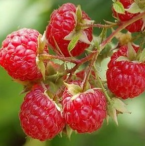 Small twig of six ripe raspberries