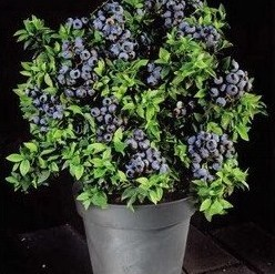 potted blueberry bush covered in fruit
