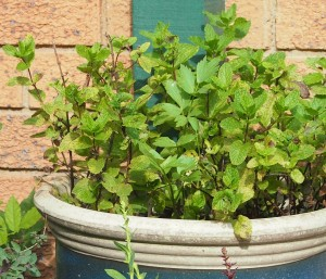 Mint growing in a pot with some lovage struggling in the middle