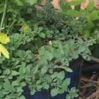 oregano and thyme growing in a larger blue ceramic container, hanging over the edges