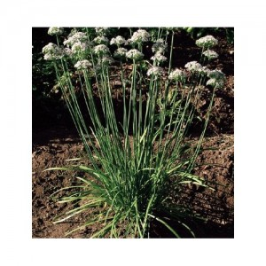 A clump of flowering garlic plants