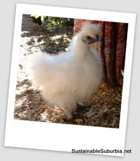 A young white Silky pullet free ranging in front of the skirt of a scare crow.