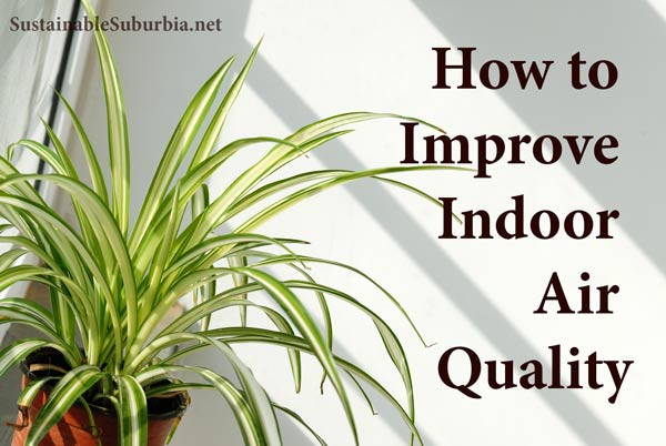 Spider plant | How to Improve Indoor Air Quality | SustainableSuburbia.net