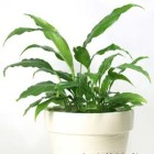 potted peace lily | sustainablesuburbia.net