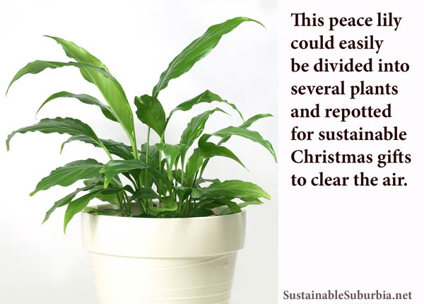This peace lily could easily be divided into several plants and repotted  for sustainable  Christmas gifts  to clear the air | SustainableSuburbia.net