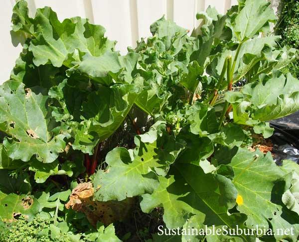 Rhubarb growing prolifically | SustainableSuburbia.net